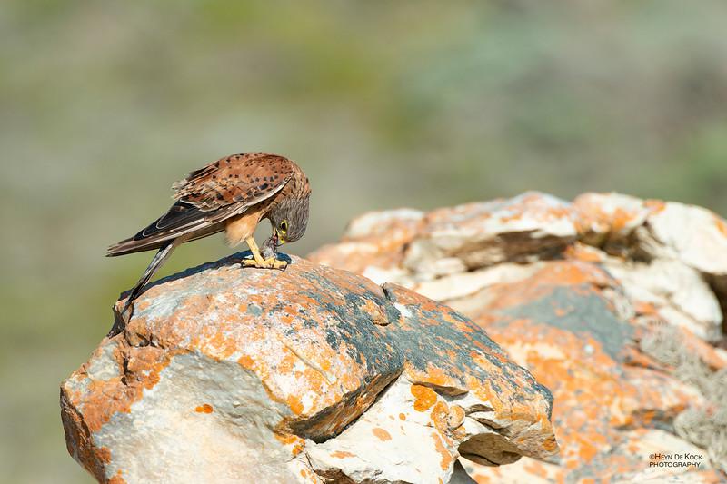 Rock Kestrel, D'Agulas NP, WC, SA, Jan 2014-1.jpg