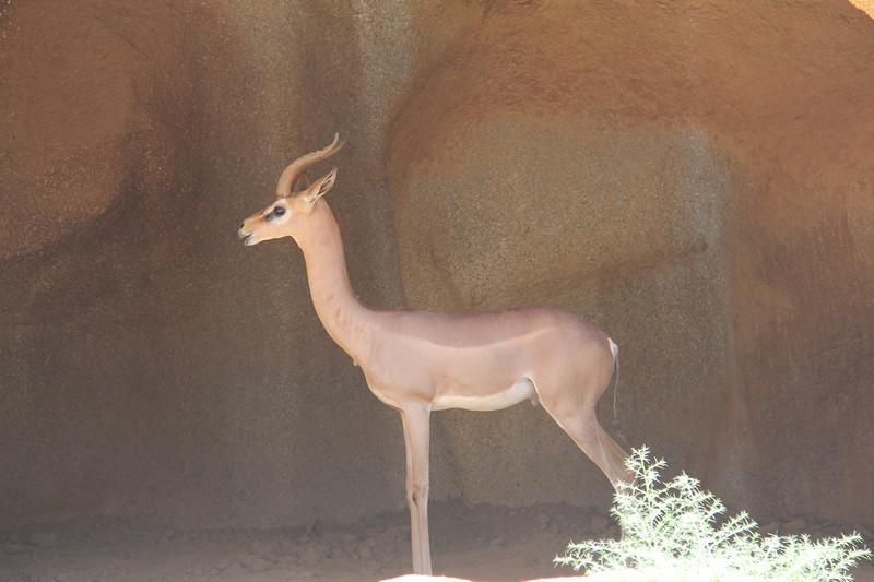 20170807-105 - San Diego Zoo - Antelope.JPG