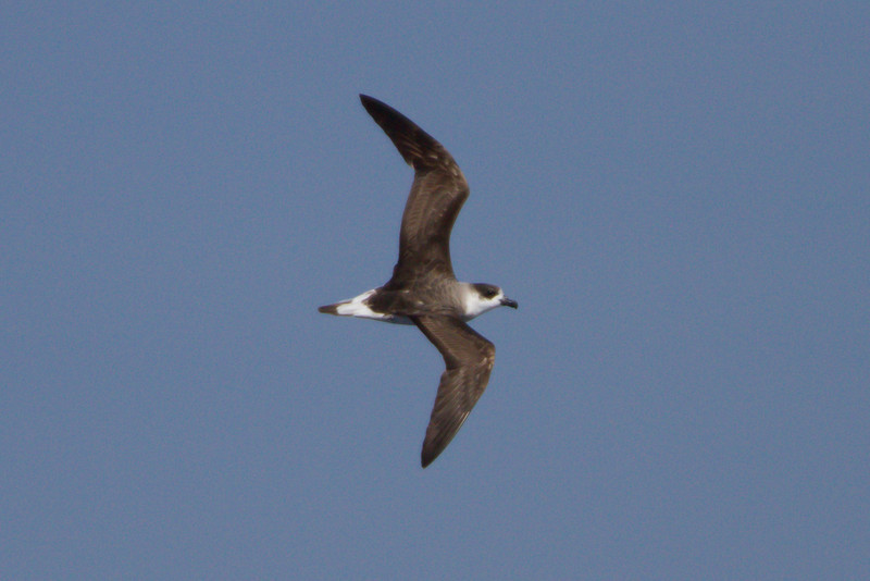 Black-capped Petrel at Gulf Stream pelagic off Hatteras, NC (06-02-2012) 002-31.jpg