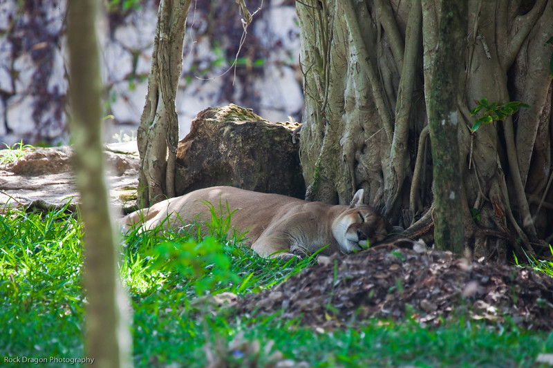 A cougar at the Xcaret Ecological park.