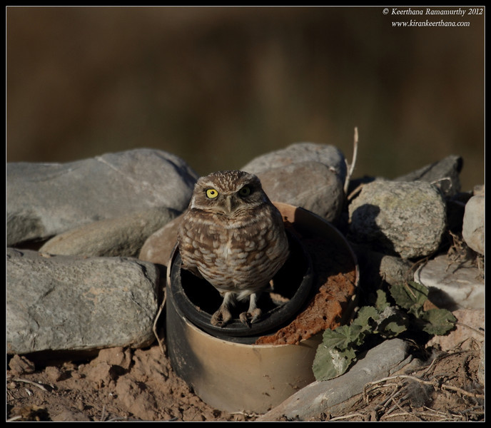 Burrowing Owl on its nest, Cibola National Wildlife Refuge, Arizona, November 2012