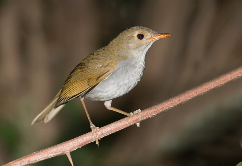 Orange-billed Nightingale Thrush 2.jpg
