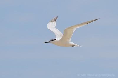 Gulls,  Terns, Gannets, Kingfishers, etc.
