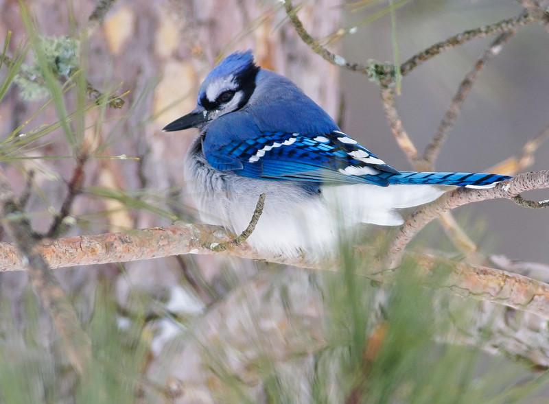 Blue Jay Mary Lou's feeders Sax-Zim Bog MN-00820.jpg