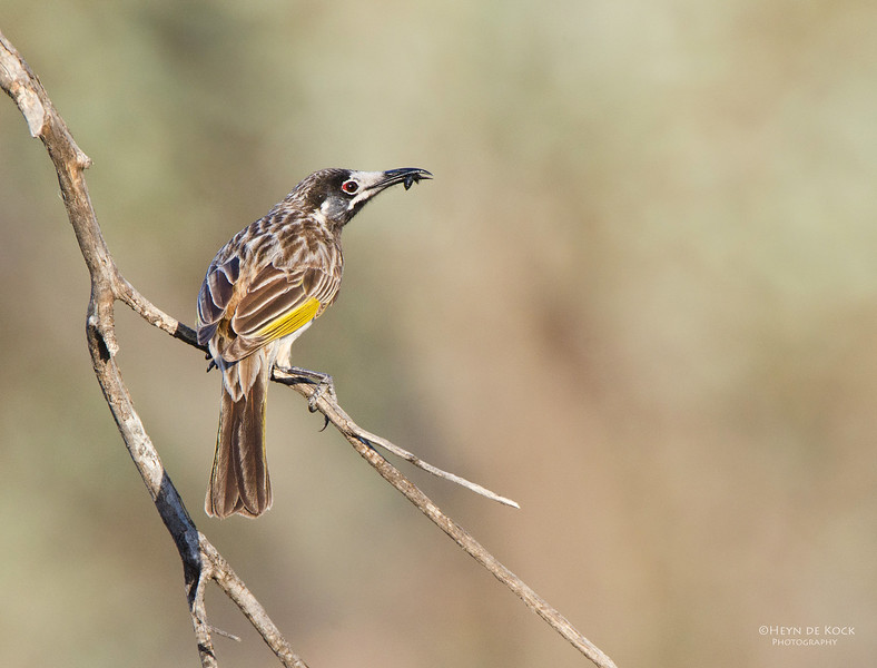 White-fronted Honeyeater, Gluepot, SA, Aus, Oct 2011-2.jpg