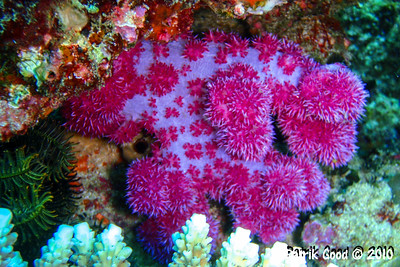 Prickly Red Tree Coral