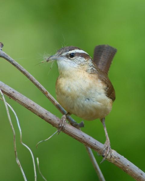 Carolina Wren  Nest collecting/building/showing off.  Dyke Marsh, Alexandria VA