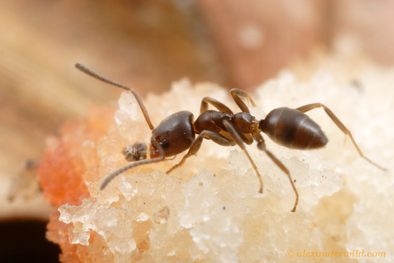 Linepithema micans eating from a bit of shortbread cookie.  Myrmecologists often use cookie baits to draw ants out of their nests for study.  Buenos Aires, Argentina