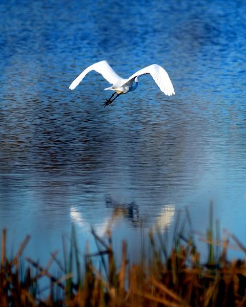 white heron flies away.jpg