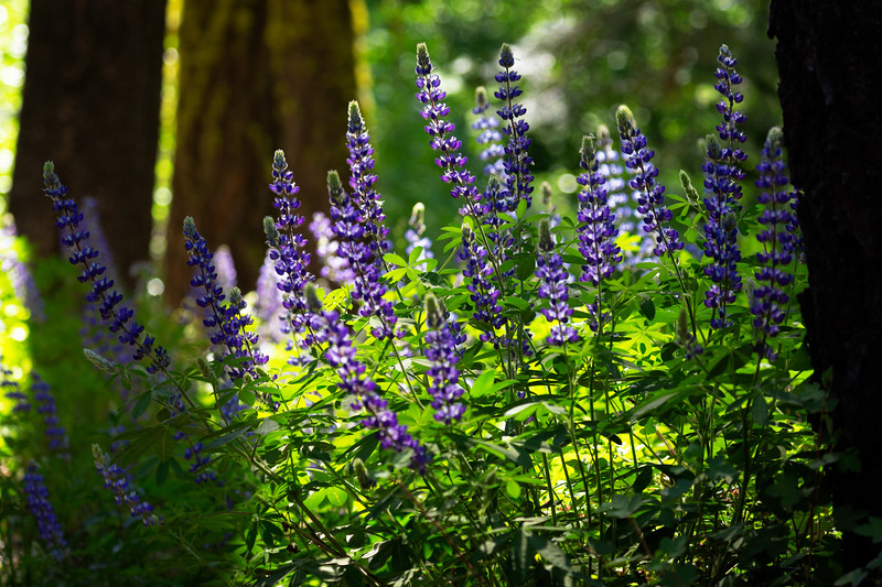 Leaping Lupine