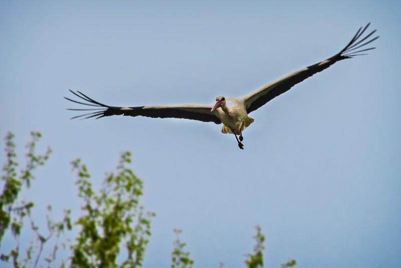 Storks at Marchegg