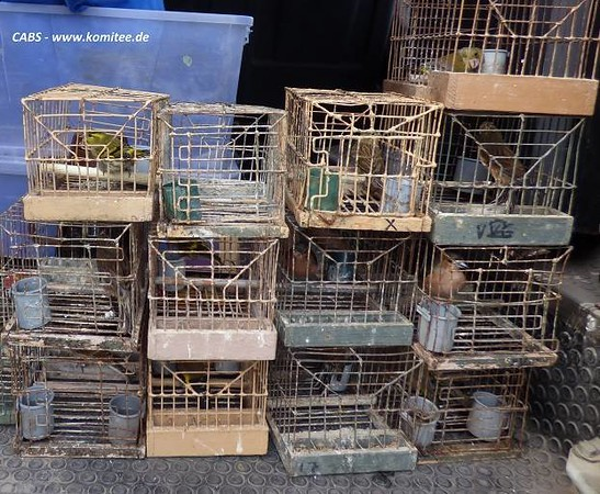 """Illegal bird trappers caught in Malta – 25 live birds seized: Our investigations have led to the arrest of two illegal finch trappers and the seizure of 25 live birds during the weekend.  In the first case officers of the Administrative Law Enforcement (ALE) caught a poacher red-handed on a trapping site close to Pembroke after CABS alerted the authorities on Sunday morning. 10 live finches and numerous trapping paraphernalia including clap nets, springs and cages were confiscated by the police. The trapper admitted that his trapping site was not licenced and will be taken to court. On the same day CABS also observed and filmed a finch trapper on a non-licenced site near Ghallis Tower in the Salini area. The man had set up an active clap net and 15 cages with live decoys including Goldfinches, Hawfinches, Siskins and Linnets. When the police arrived, the poacher escaped but later police confirmed that they have identified him on the basis of his car´s number plate and the footage taken by CABS.  In a third case the Law Court in Victoria found a man from Ghajnsielem (Gozo) guilty of illegally trapping finches during the closed season and using an illegal bird caller in March this year. He was filmed and reported by members of a CABS team who were also called as witnesses during the trial on Thursday. The man was given a 700 Euro and his trapping licence was revoked for two years. CABS Wildlife Crime Officer Fiona Burrows praised the suspension of the licence but criticised the 700 Euro fine as being """"insignificant"""" and in conflict with the announcement of the government´s declared policy of tough action against illegal bird hunting and trapping."""