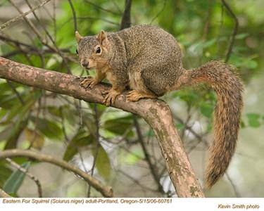 EasternFoxSquirrelA60761.jpg