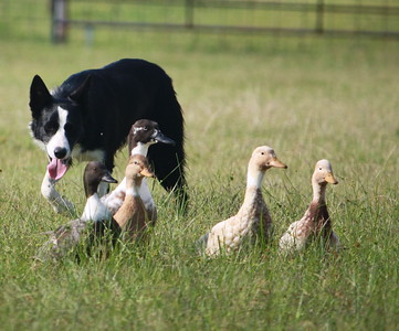 Border Collies Working stock