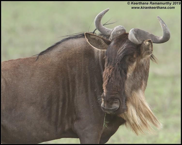 Wildebeest, Ngorongoro Crater, Ngorongoro Conservation Area, Tanzania, November 2019