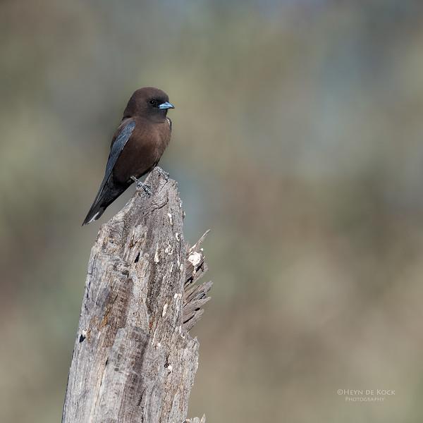 Little Woodswallow, Bowra, Cunnamulla, QLD, Aus, Sept 2017-3.jpg