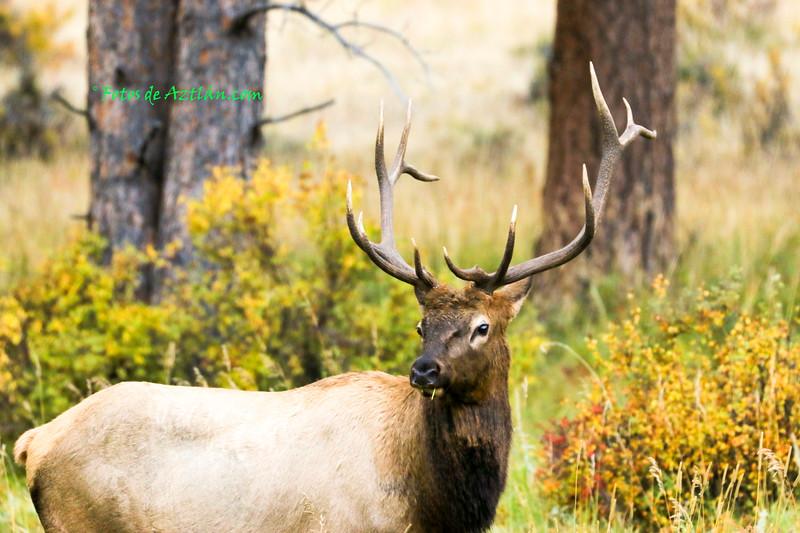Elk IMG_1355.jpg