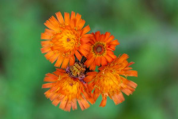 Hawkweed - Orange - Bayfield, WI