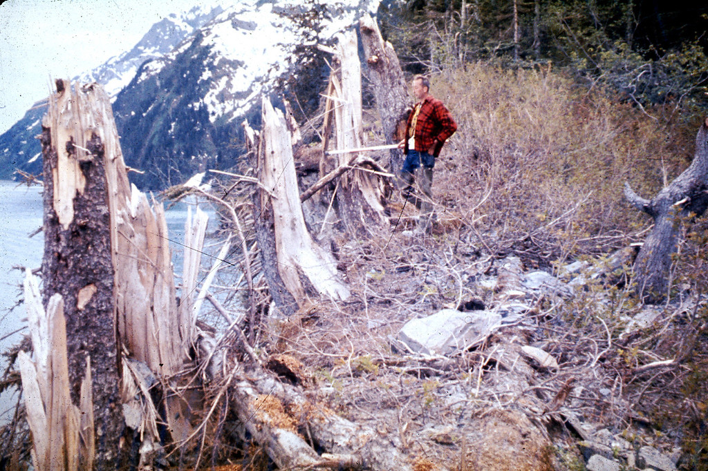 . Alaska Earthquake March 27, 1964. Trees up to 24 inches in diameter and between 88 and 101 feet above sea level were broken and splintered by the surge wave generated by an underwater landslide in Port Valdez on Prince William Sound. U.S. Geological Survey photo