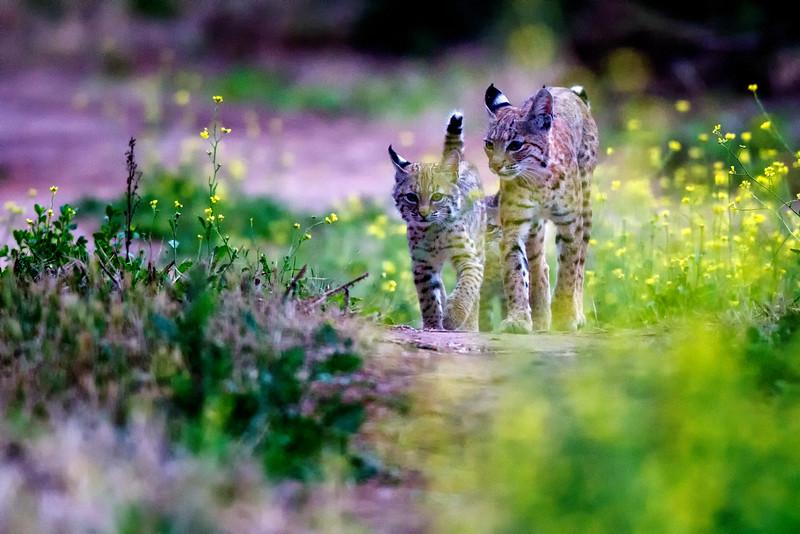 Bobcat family California