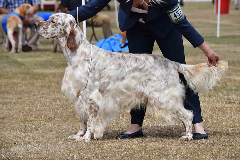 english-setter-show-dog-show-champion-.jpeg
