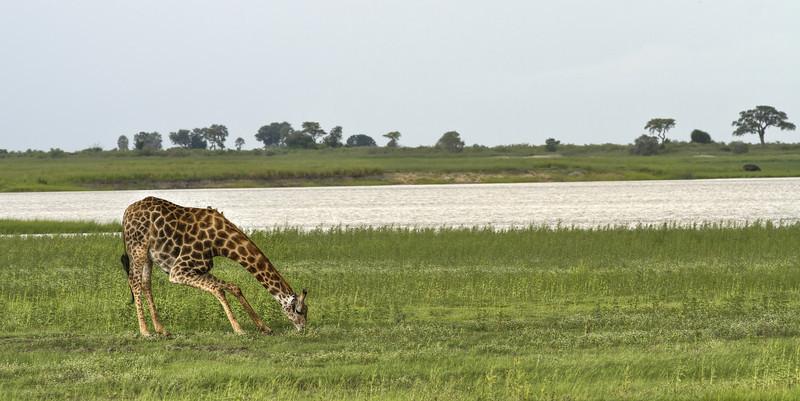 Drinking-Giraffe-Botswana.jpg