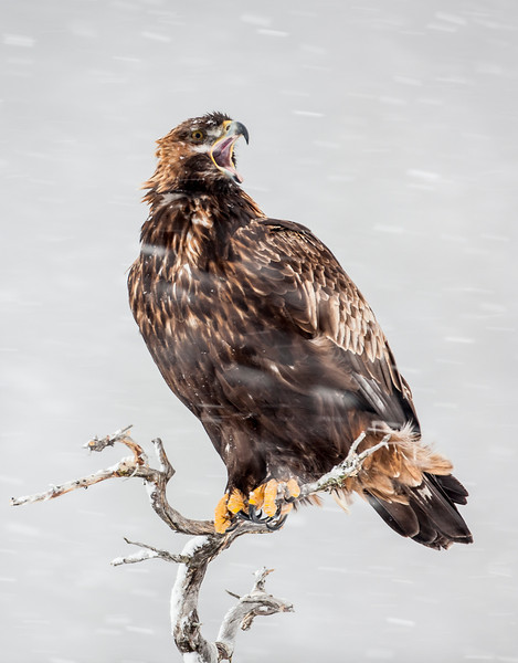 Golden Eagle calling