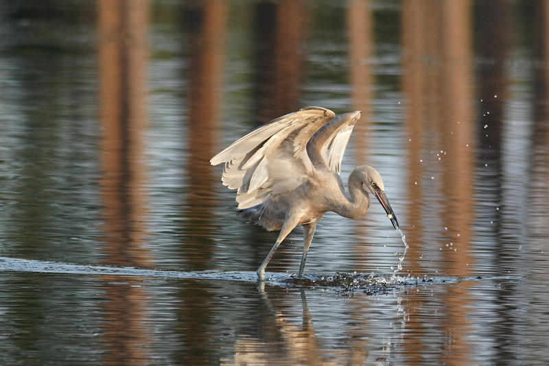 Reddish Egret - Catches a fish after a dramatic dance and lunge