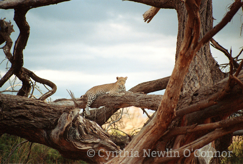 Cheetah 1988.jpg