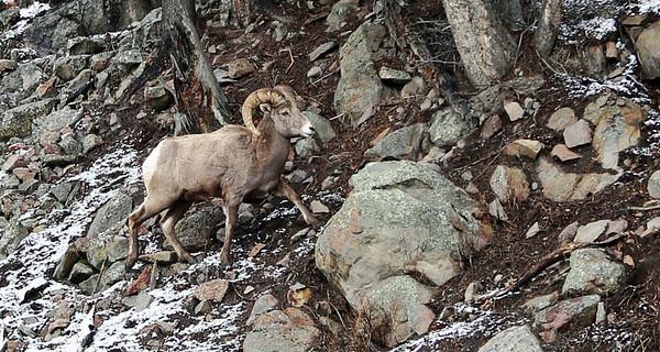 Big Horns Montana