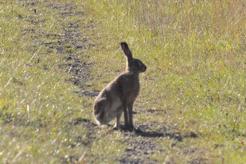 Brown Hare Durham - Richard Cowen.JPG