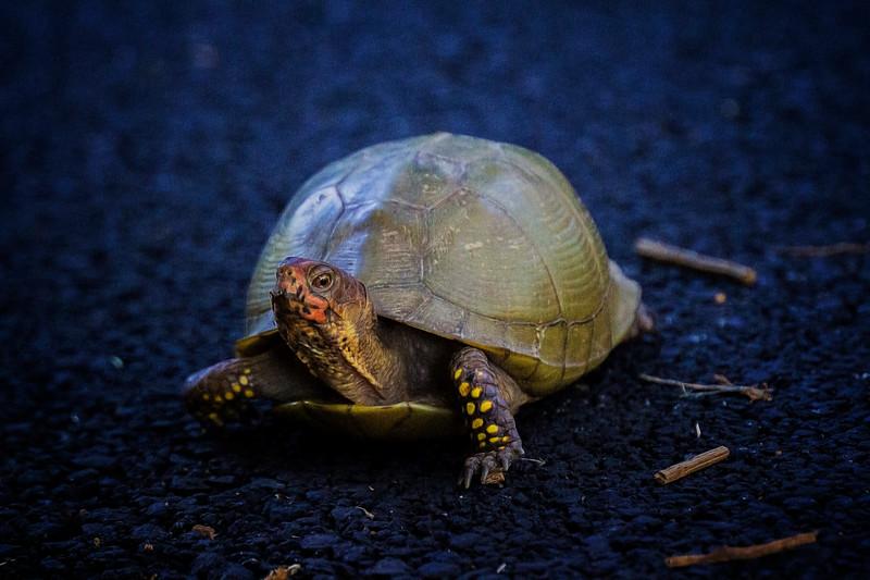 6.27.17 - Prairie Creek Recreation Area: Three-toed Box Turtle