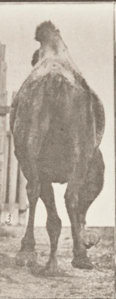 Bactrian camel racking, then galloping
