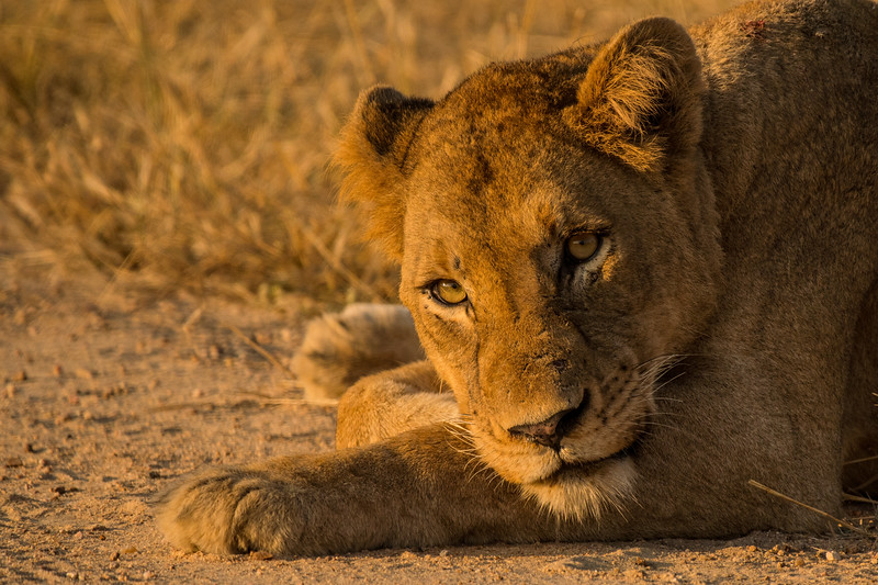Lioness down low