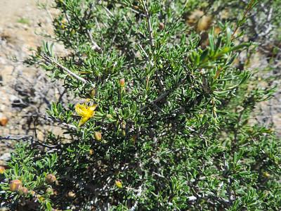 Blackbrush (Coleogyne ramosissima)
