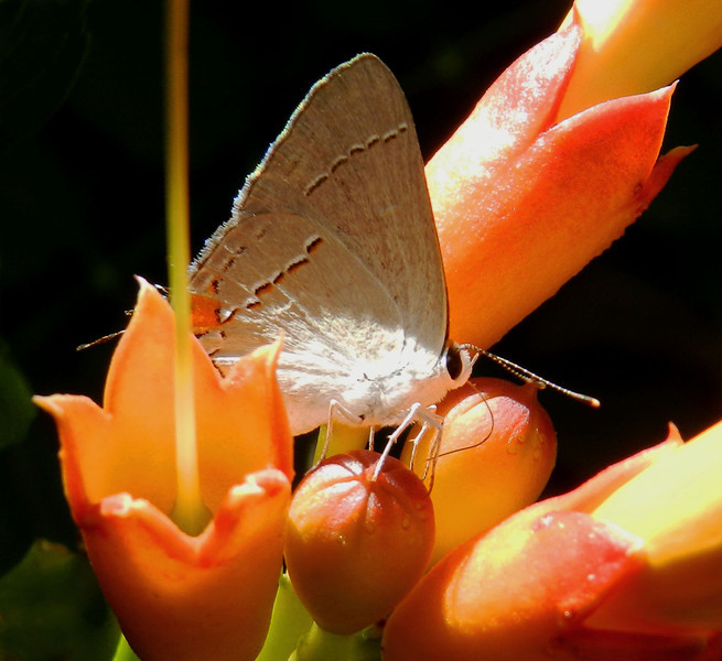 Gray Hairstreak on Trumpet (10).jpg