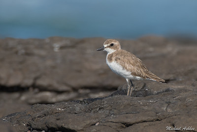Greater Sand Plover (Rare Asian Migrant)