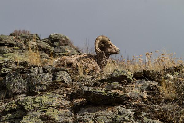 Bighorns, elk,marmots NBR 3/12