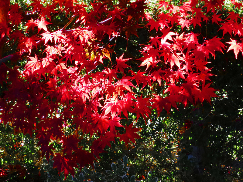 red leaves 0112.jpg