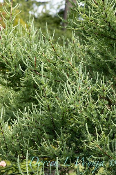 Larix laricina 'Deborah Waxman'_6928.jpg
