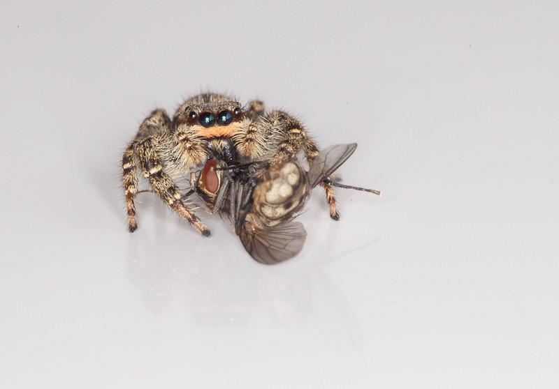 Female fencepost jumping spider (marpissa muscosa) with prey.