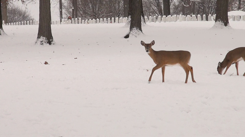 whitetail_snow_005.mov