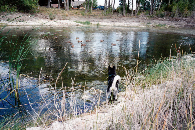 Clea and the ducks.jpg