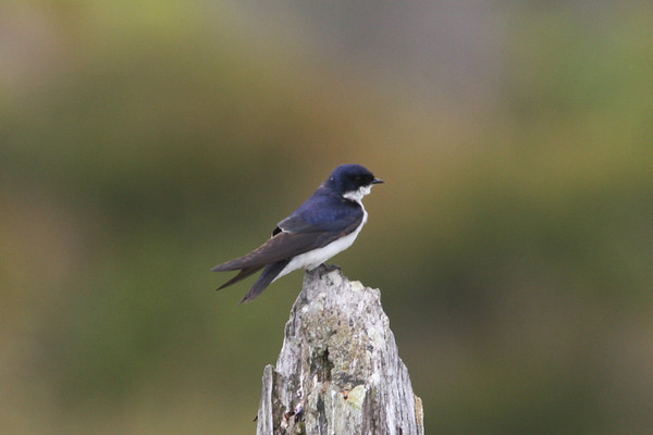 Golondrina de Dorso Negro Blue and White Swallow