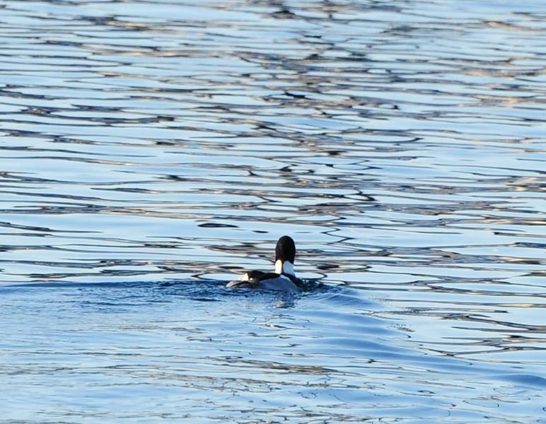 Common Loon - 3/2/2013 - SD Bird Festival Pelagic