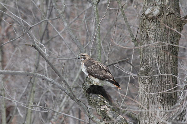 Two Red Tailed Hawks 2011-02-12