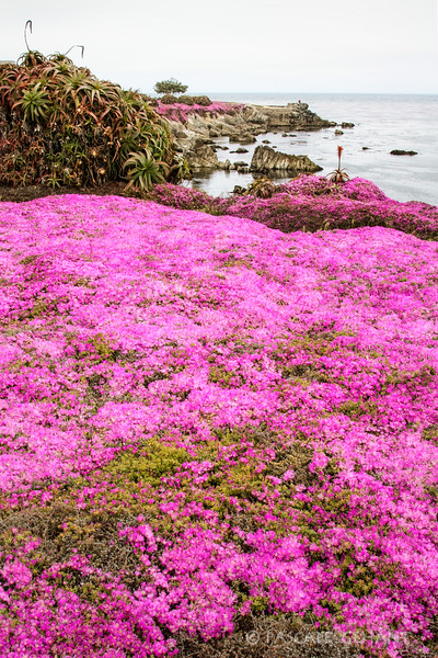 Shoreline in bloom 3- Pacific Grove