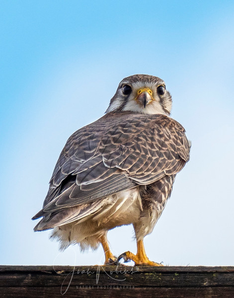 Joan_Robins_181201-Prairie Falcon 11x14-10032_adjusted.jpg
