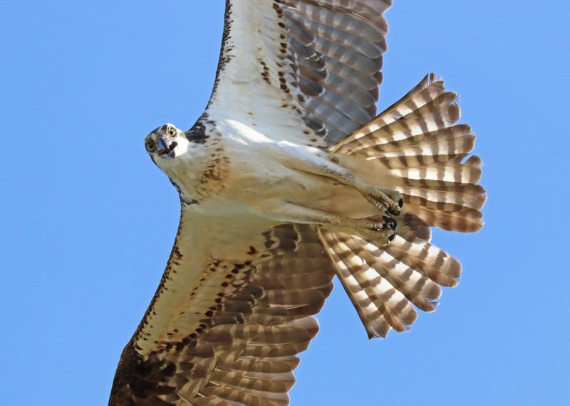 osprey 577.jpg