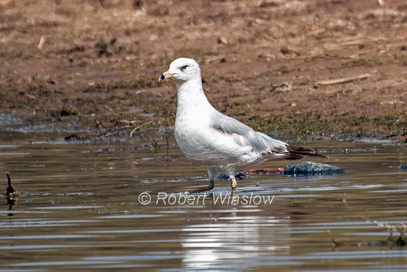Ring-billed Gull, Larus delawarensis, La Plata County, Colorado, USA, North America